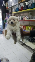 Bichon for sale