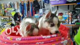 husky puppies fore sale