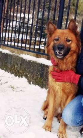 Male berger belge needs a pure female