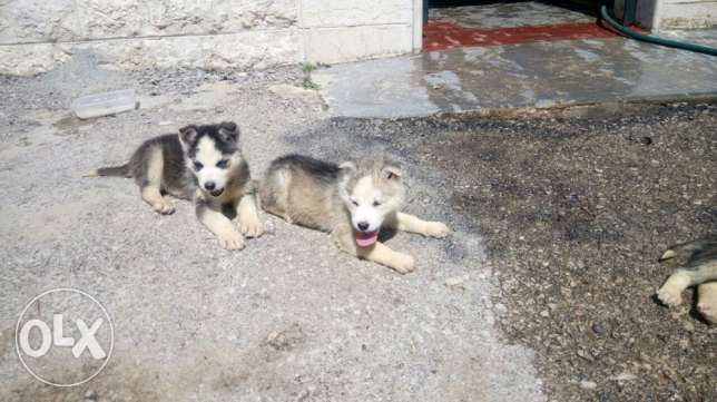 for sale Siberian husky pure 100%