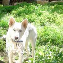 Husky female 2 years so friendly good price