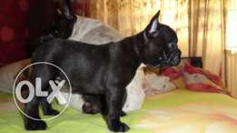 Imported 2 males french Bulldog puppies available from AlphaPets