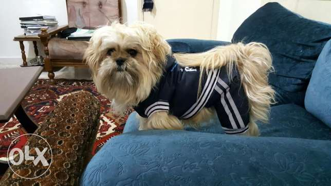 Male shih tzu for mating