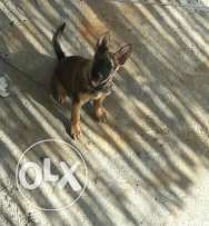 Poyka GSD male 4 month