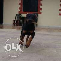 zoya female dobermam 3 months fully vaccinated and dewormed ma2sousin