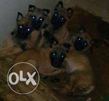 Last 2 females malinois top quality top parents