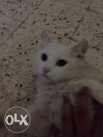 Turkish angora male cat for sale or trade