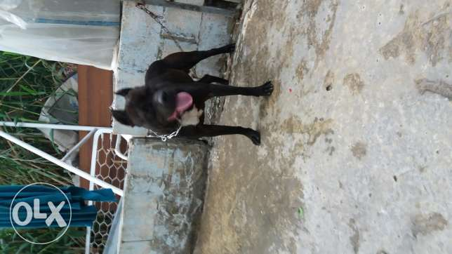 amirican pitbull male 11 month for sale or trade