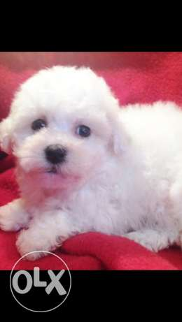 Bichon maltais teacup puppies