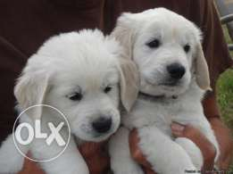 Pure golden retreiver puppies