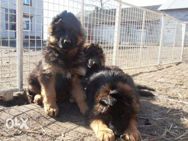 Top Gsd Puppies for Sale !!!
