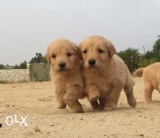 best imported golden puppies