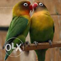 Love birds for sale