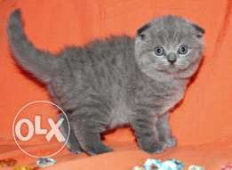 Male and female Scottish fold kittens