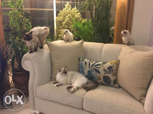Siamese kittens for sale الشوف -  2