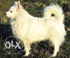Female lolo dog is looking for a male lolo