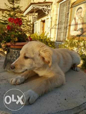 Golden retriever & labrador