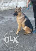 gsd 14 month for sale