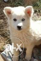Puppies husky seberian for sale