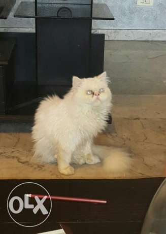 White pure breed persian for sale خلدة -  2