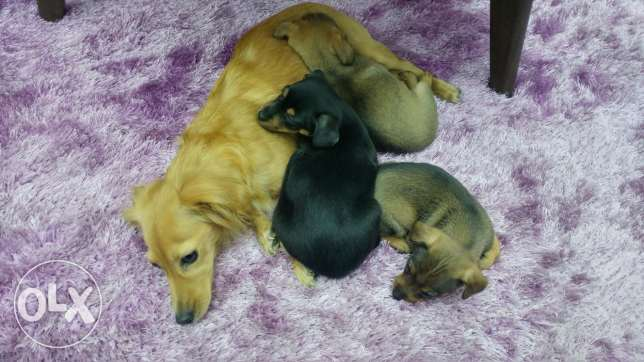 Dogs for adopting انطلياس -  4