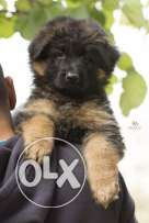 Top longhaired german shepherd for sale from multi-champion
