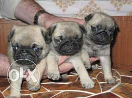 Imported Pug puppies available
