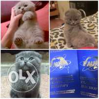 Scottish Fold kittens pasport & microchipped & vaccinated