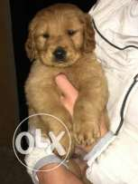 last imported male golden puppy