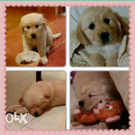 Pure female golden puppy 1 month old