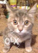 cat 3month age for sale female