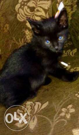 a black male cat for sale