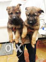 german shepherds available