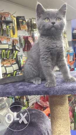 Russian blue female kitten