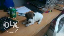 Jack russell puppies females