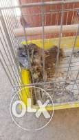 Tawny owl for sale