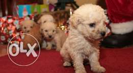 Wonderful . Bichon Puppies .