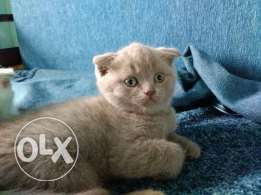 Imported Scottish fold for a special price.
