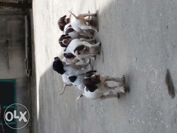 Pure pointer puppies for sale