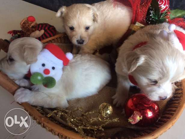 Loulou Spitz Puppies Ideal Gift for Christmas انطلياس -  4