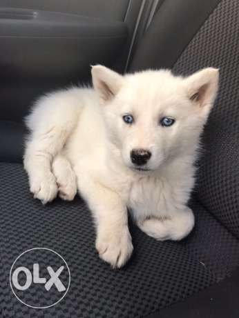 husky seibirien puppeis 55 day bue eyes long hair
