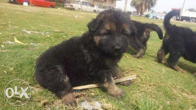 German shepherd 55 days old imported parent giant size