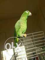 Tamed Amazon Mealy parrot للتبديل