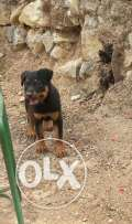 Roteweiler for sale pure wmt3me kel t3ometa