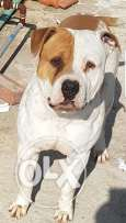Friendly Pit Bull dog 1 year old . vaccinated ..