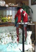 Maccaw parrots male+female 4 years زوج ببغاء ماكاو