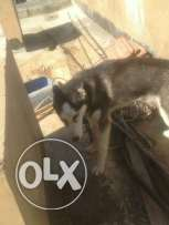 Husky seberian dog for sale