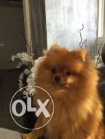 Pure female pomeranian,all vaccinations,passport,international pomeranian member,1 year old, 1000$.