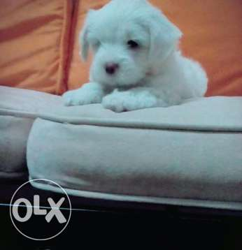 Imported German Bichon for SALE