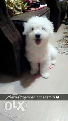 Female Bichon